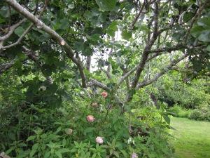 Rose + Fig